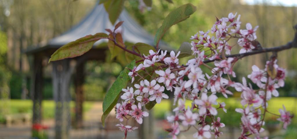 Spring cherry blossom bough